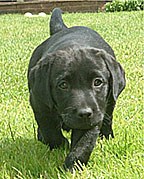 Puppies black colour